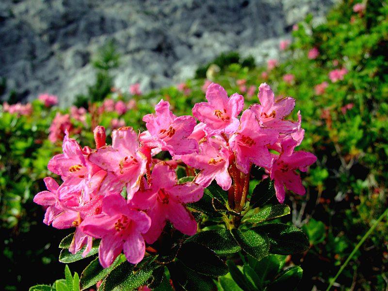 Hoa hồng Alpine